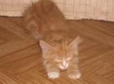 котенок,_домашни