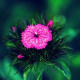 гвоздика,_цветок
