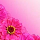 фон,_циния,_цвето