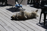 собака_животное_