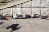 животные_голубь_