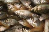 Карась,_рыба,_рыб