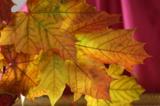 листья,_клен,_осе