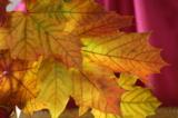 листья,_клен,_све