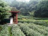 чай,_Китай