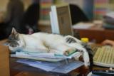 офис_кошка_прико