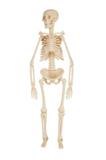 человек,_скелет,_