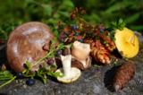 грибы,_лес,_черни