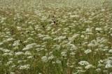 Лето,_поле,_трава