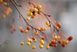 ветка,_осень,_ябл