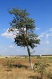 акация,_дерево,_п