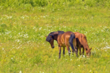 лошадь,_жеребец,_