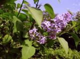 весна_май_сирень