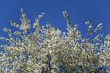 цветение,_вишня,_