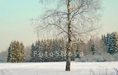 снег,_береза,_лес