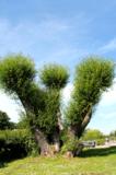 ива,_дерево,_флор