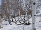 береза,_снег,_бел