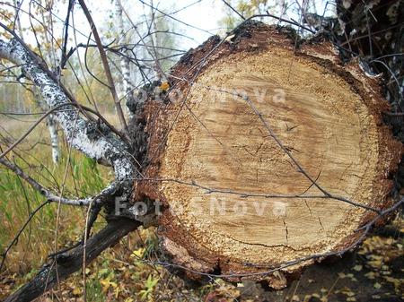 береза,_дерево,_с