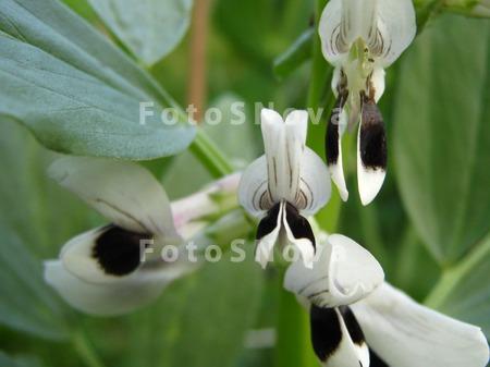 Фасоль,_цветок,_в