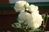 Белые_розы,_стен