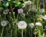 цветы,_лето,_белы