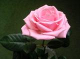 Роза,_роз