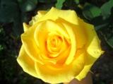 цветок,_роза,_жел
