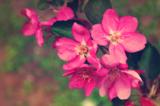 цветы,_розовые,_в