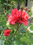 роза,_бут