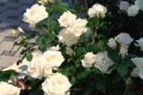 белая_роза,_цвет�