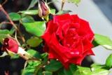 красная_роза,_цв�