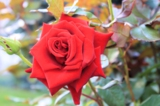 роза,_растения,_к