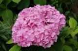 розовый,_красивы