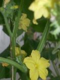 огурец,_цветок,_п