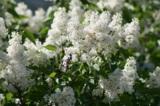 Дача,_цветы,_весн