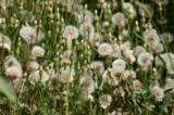 Одуванчики,_цвет