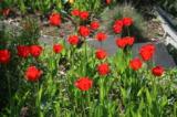 Дача,_цветы,_клум