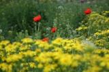 Фон,_маки,_цветы._
