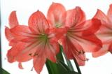 Амариллис,_цветы