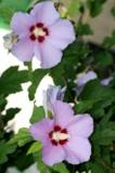 Мальва,_цветы_ле�