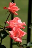 Цветы,_розы,_лепе