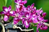 Орхидея,_