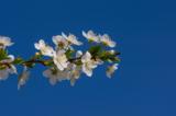 вишня,_цветение,_