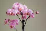 orchidaceaeрозоваябу�