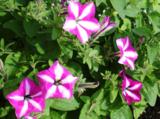 цветы,_пе