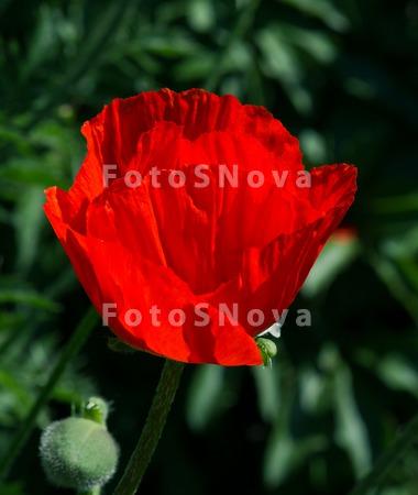 мак,_цветок,_крас