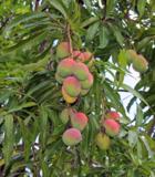 манго,_плоды,_фру