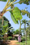 Фрукты,_растение