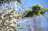 весна,_вишня,_цве