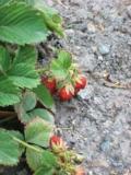 ягода,_земляника